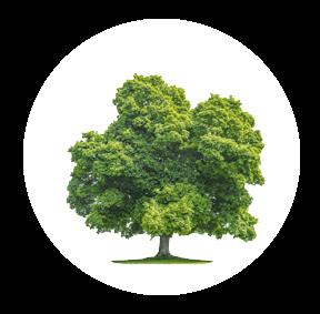 Die Eiche ist ein möglichher Baum für Ihre Baumgrabstätte oder die Ihrer Angehörigen im Begräbniswald Freden opn Kliff