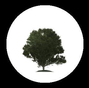 Der Ilex ist ein möglichher Baum für Ihre Baumgrabstätte oder die Ihrer Angehörigen im Begräbniswald Freden opn Kliff