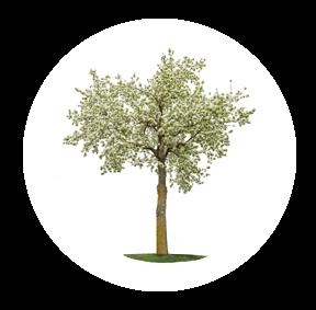 Die Kirsche ist ein möglichher Baum für Ihre Baumgrabstätte oder die Ihrer Angehörigen im Begräbniswald Freden opn Kliff