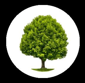 Die Esche ist ein möglichher Baum für Ihre Baumgrabstätte oder die Ihrer Angehörigen im Begräbniswald Freden opn Kliff