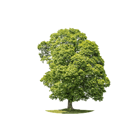 Der Ahorn ist ein möglichher Baum für Ihre Baumgrabstätte oder die Ihrer Angehörigen im Begräbniswald Freden opn Kliff
