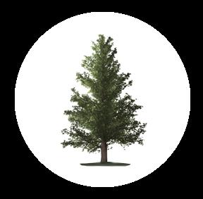 Die Douglasie ist ein möglichher Baum für Ihre Baumgrabstätte oder die Ihrer Angehörigen im Begräbniswald Freden opn Kliff
