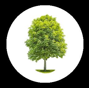 Die Buche ist ein möglichher Baum für Ihre Baumgrabstätte oder die Ihrer Angehörigen im Begräbniswald Freden opn Kliff