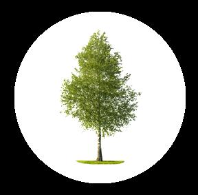 Die Birke ist ein möglichher Baum für Ihre Baumgrabstätte oder die Ihrer Angehörigen im Begräbniswald Freden opn Kliff