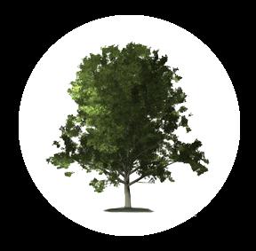 Die Ulme ist ein möglichher Baum für Ihre Baumgrabstätte oder die Ihrer Angehörigen im Begräbniswald Freden opn Kliff