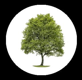 Die Linde ist ein möglichher Baum für Ihre Baumgrabstätte oder die Ihrer Angehörigen im Begräbniswald Freden opn Kliff