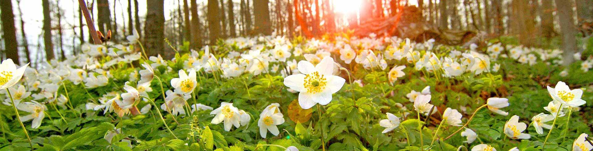 Anemonenblüte im Begräbniswald Freden op`n Kliff- Ein schönes Grab ohne Grabpflege