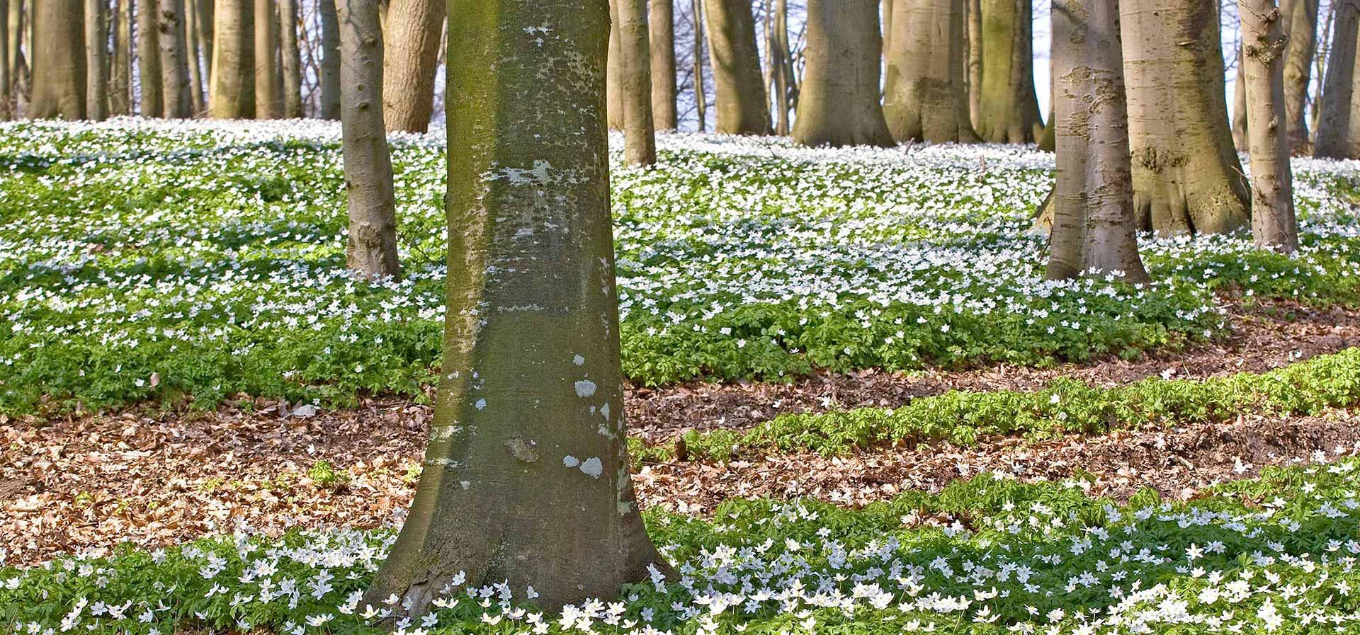 Anemonenblüte im Begräbniswald an der Ostsee, ihre Alternative für eine Beisetzung auf dem Friedhof im Waldfriedhof, Ruheforst oder Friedwald.