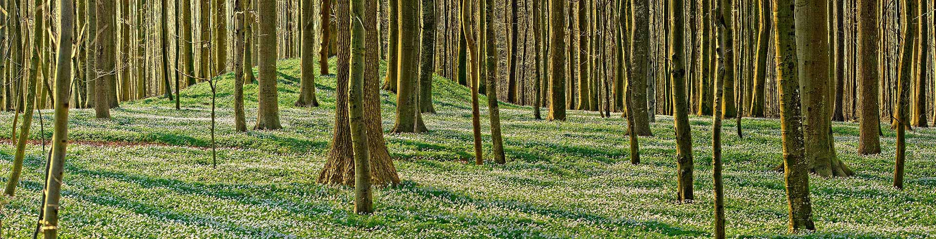 Hügelgrab und Anemonenblüte im Begräbniswald- Ein Wald ist ein schöner Platz für die letzte Ruhe